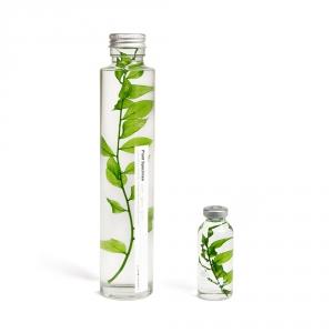Bottle plant - Ruscus aculeatus